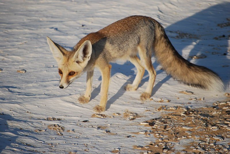 Aegypten Fuchs