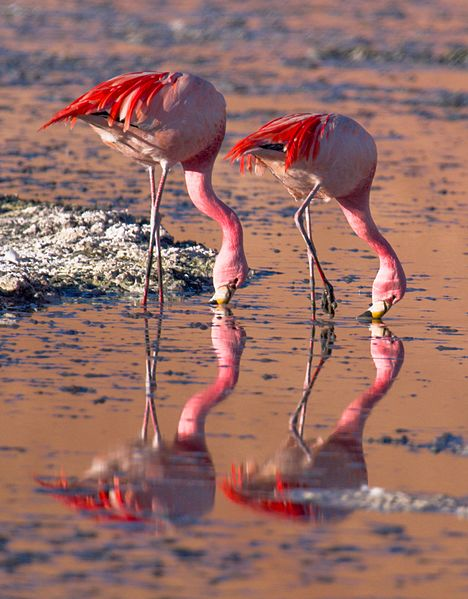 Eduardo Avaroa National Reserve - James's Flamingo