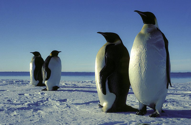 Chile Antarktis Pinguine