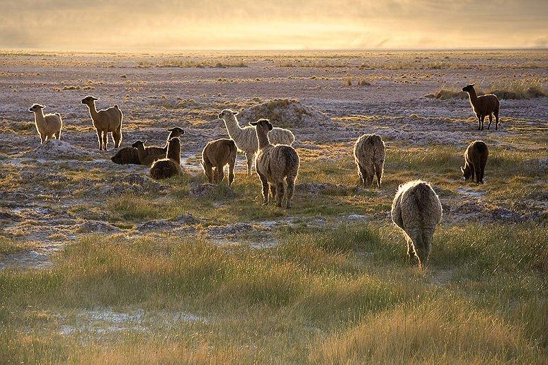 Chile Atacama Lamas