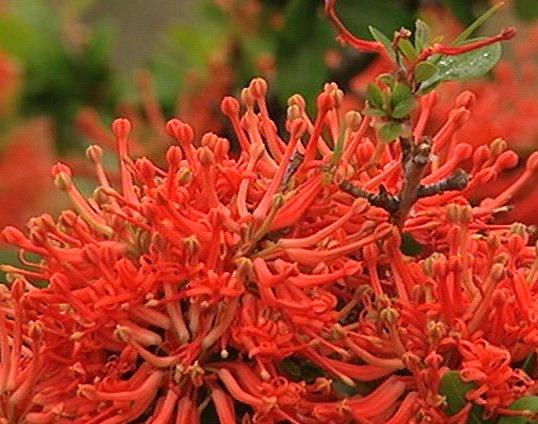 Chile Chilenischer Feuerbaum