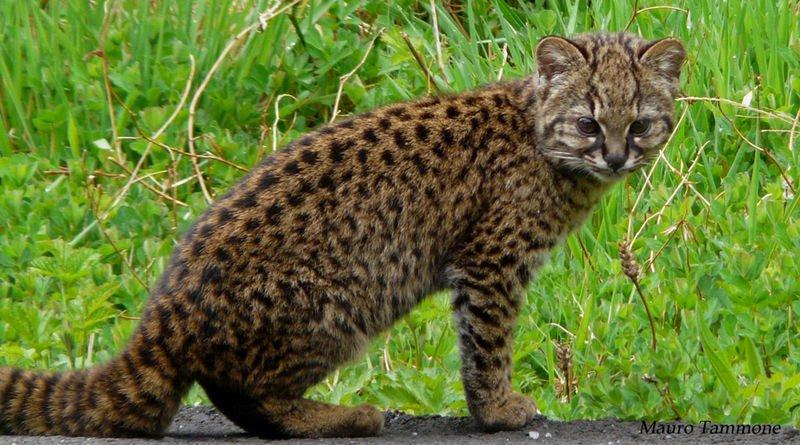 Chile Leopard