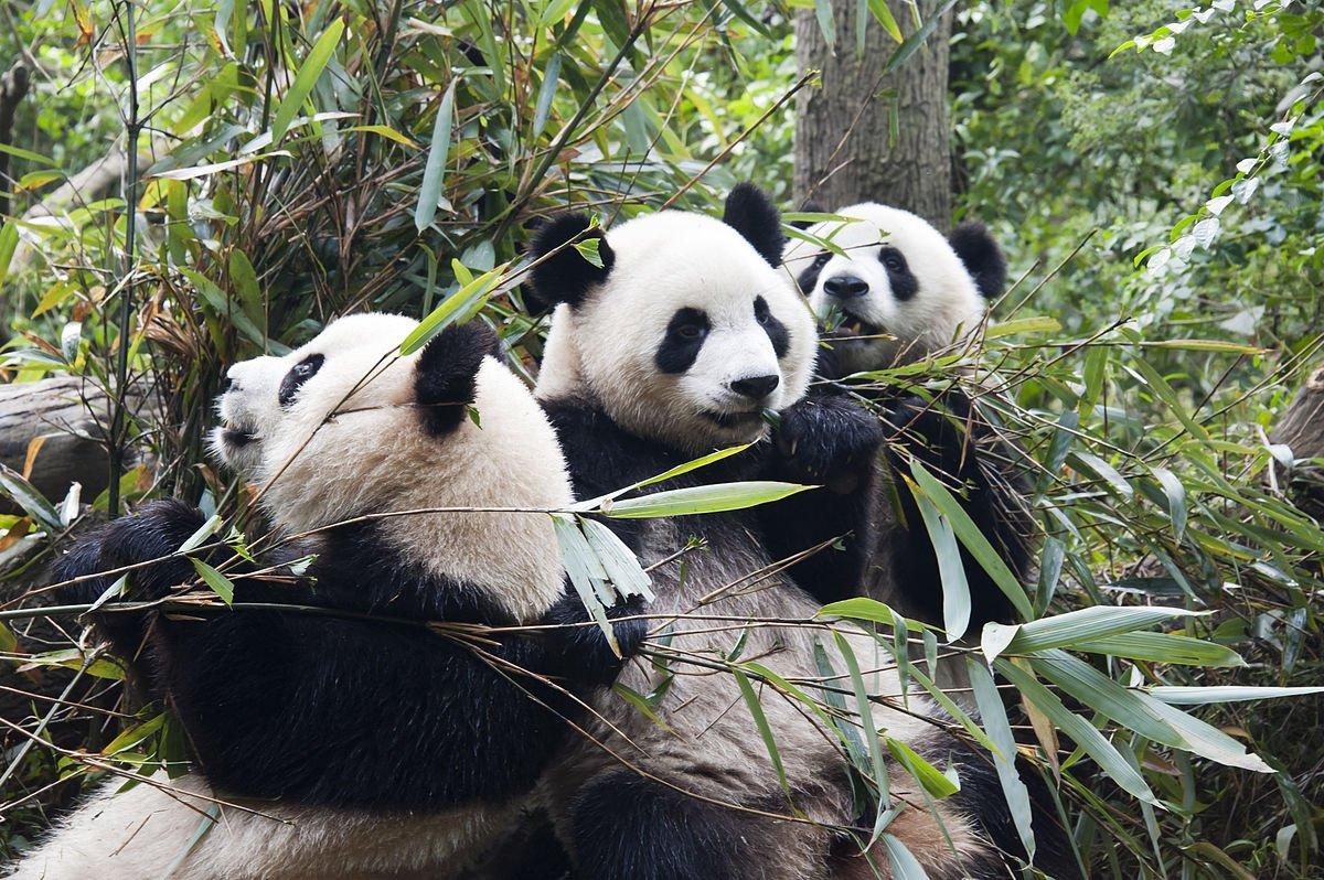 China - Chengdu - Panda Reservat
