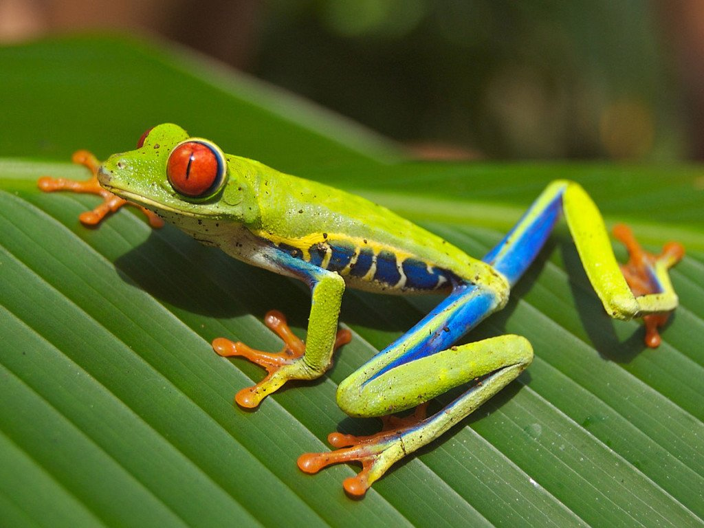 Costa_Rica-Rotaugenlaubfrosch