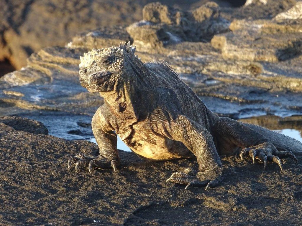 Galapagos - Marine Eidechse