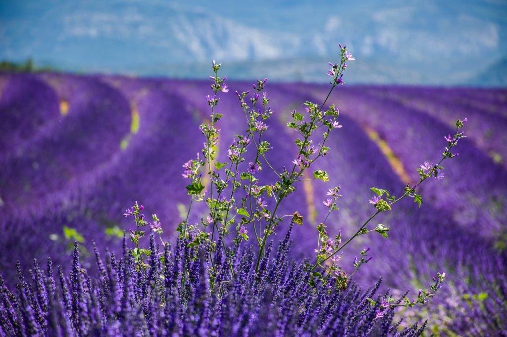 Frankreich - Moustiers Sainte Marie - Lavendelblüte