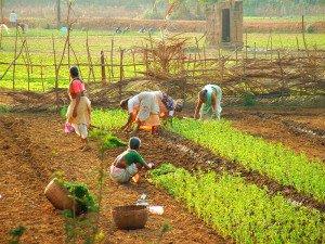 Indien Arbeit auf Plantage