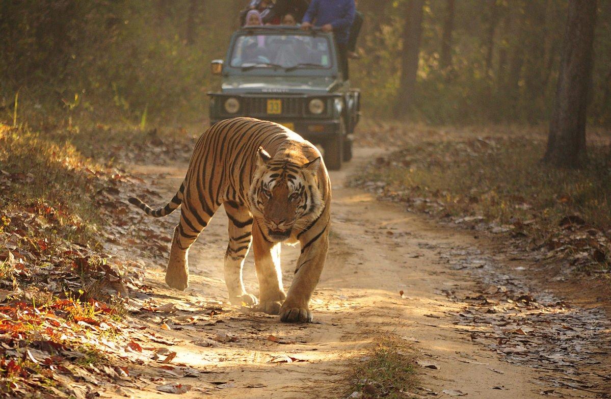 Indien Bengal Tiger