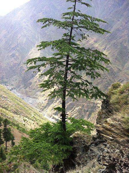 Indien Deodar Baum
