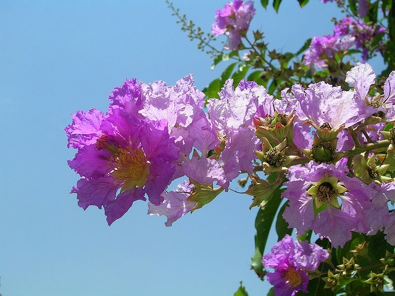Indien Lagerstroemia