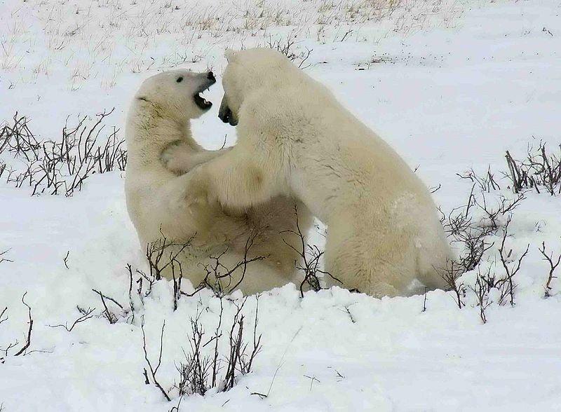 Kanada Wapusk National Park Eisbaeren