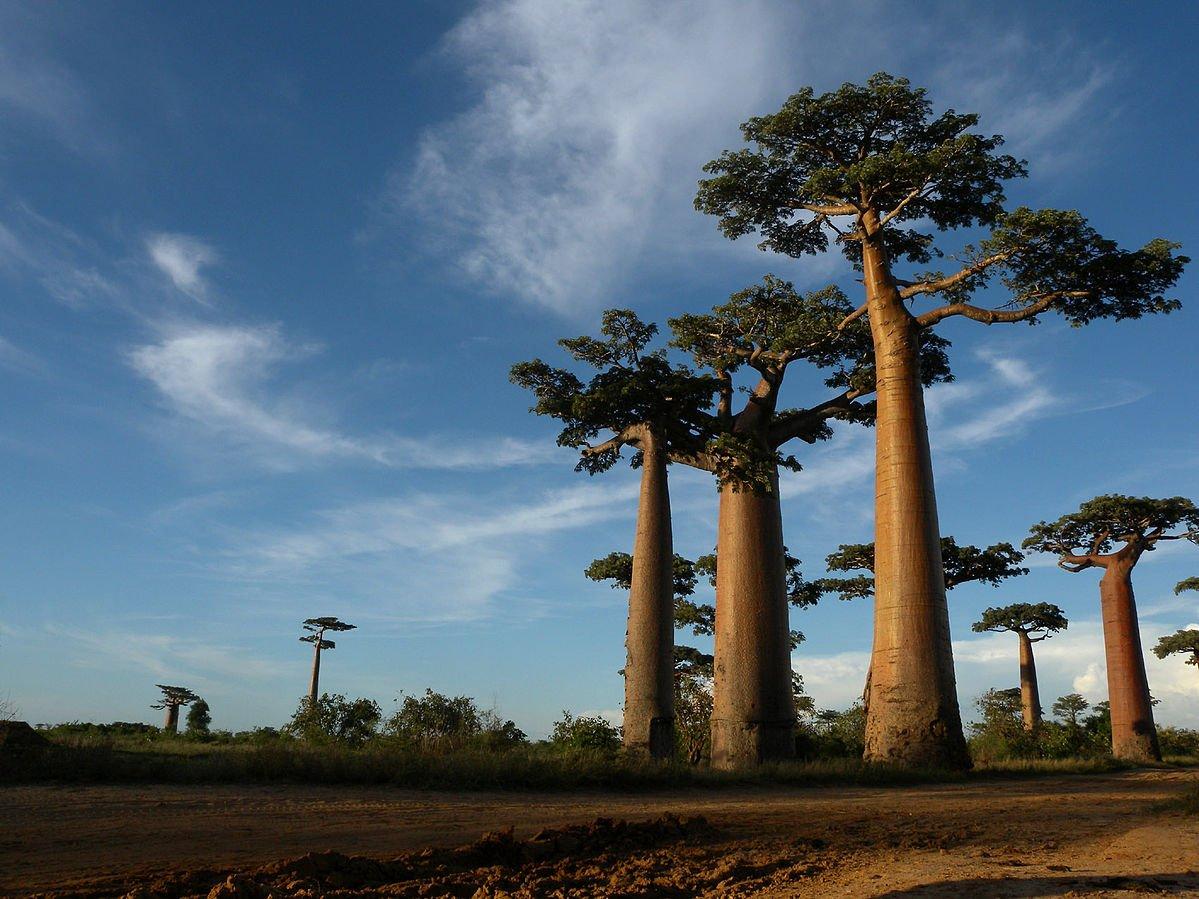 Madagaskar Baobab