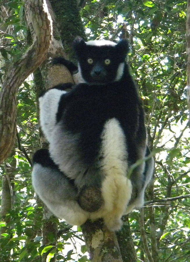 Madagaskar Indri