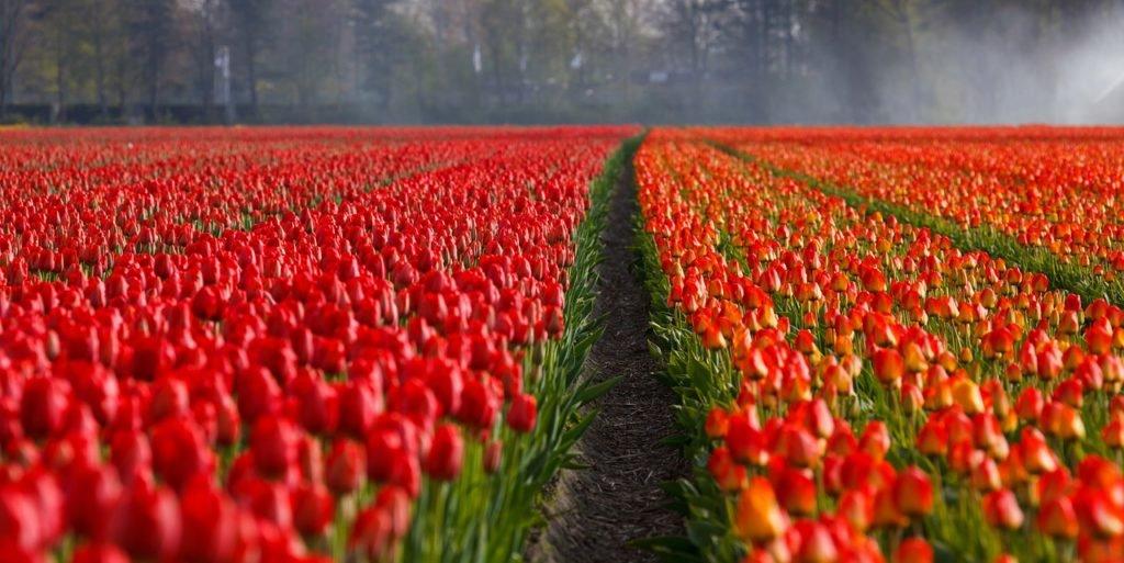 Niederlande - Tulpenfeld