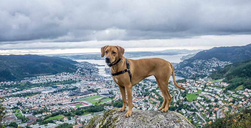 Norwegen Hund