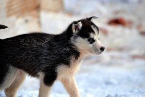 Junger Husky