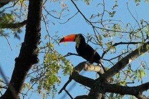 Paraguay Tukan