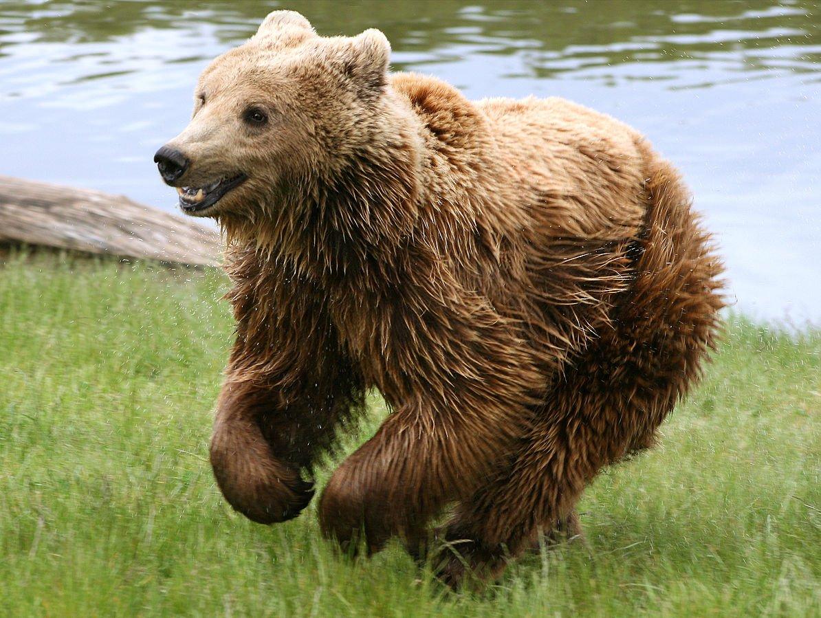 Rumänien Tierwelt Braunbär
