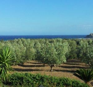 Olivenplantage auf Sardinien