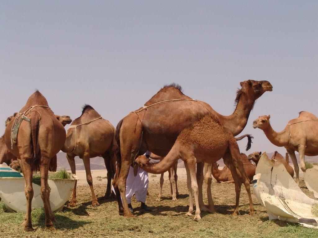Saudi Arabien - Kamele