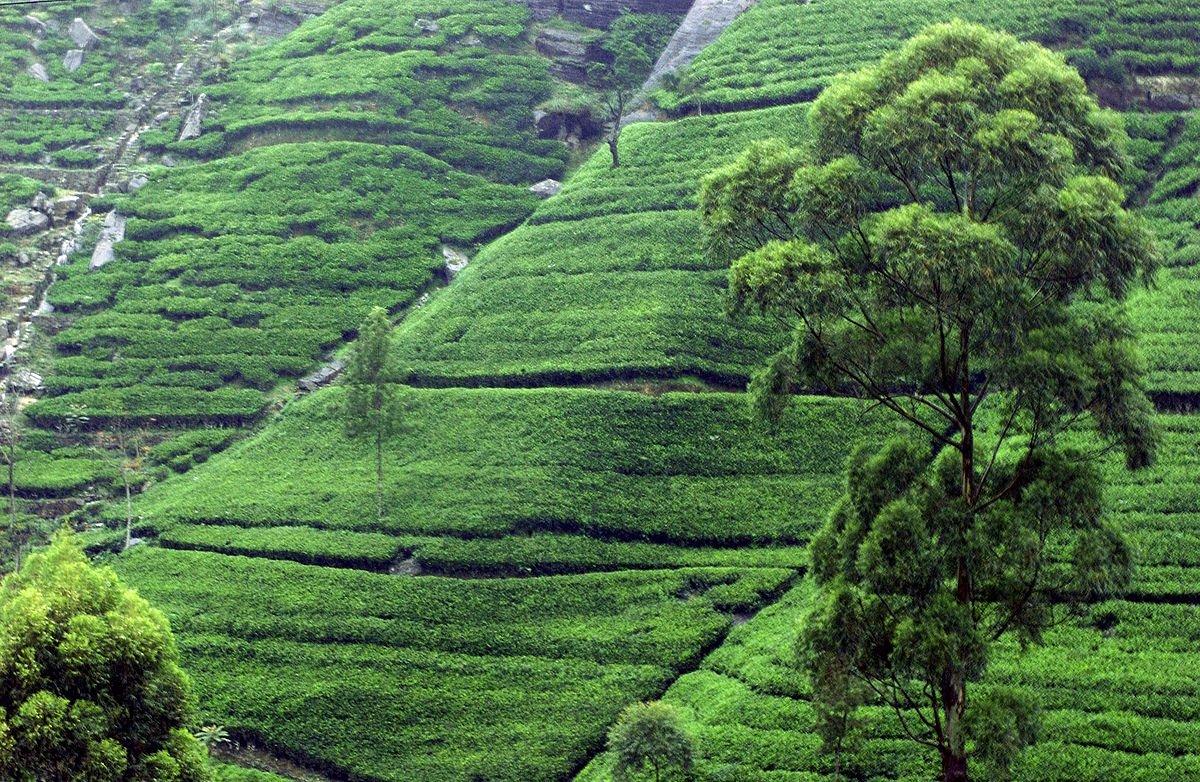 Sri Lanka - Kandy - Teeplantage