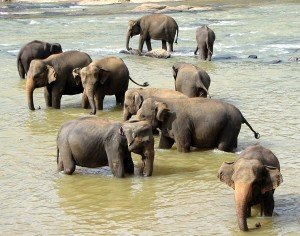 Sri Lanka Pinnawala Elafanten