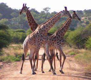 Südafrika - Krueger Nationalpark