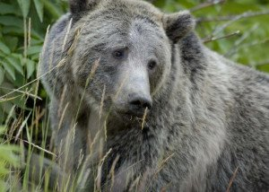 USA-Grizzly_Bear