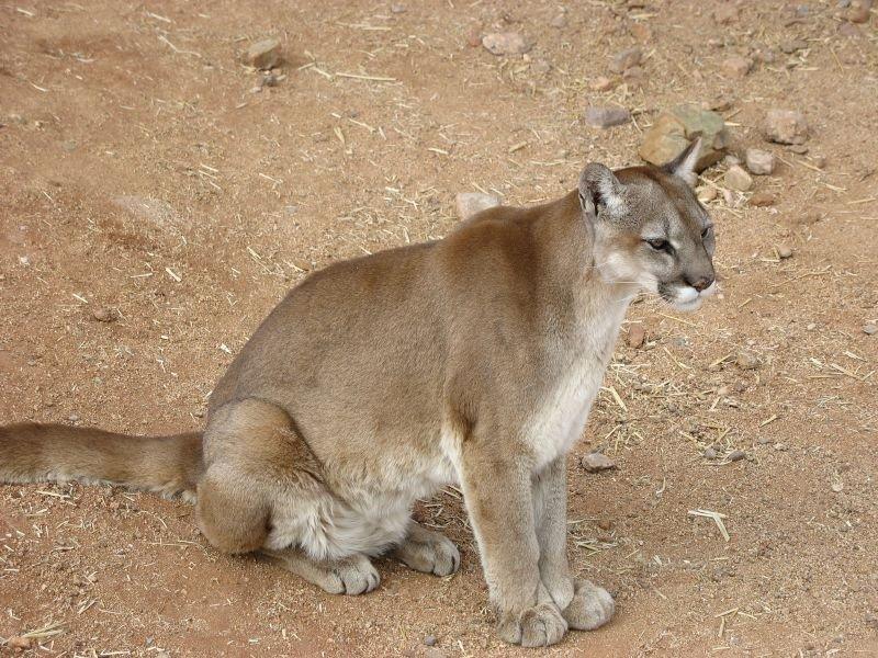 USA-Puma
