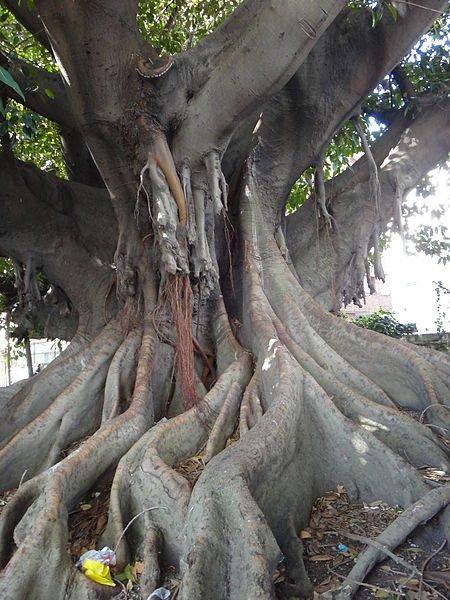 Uruguay - Montevideo - Ficus macrophylla