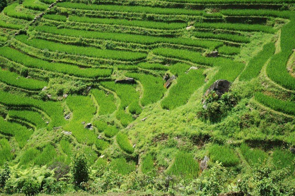 Vietnam-Sapa-Reisfelder