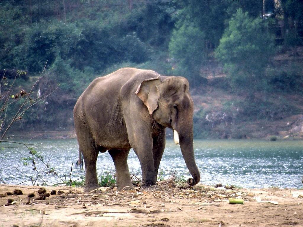 Vietnam arbeitender Elefant